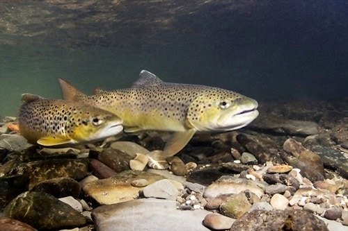 Brook Trout Spawning-Everything You Need To Know